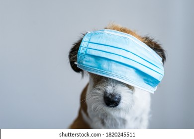Small terrier dog with a blue face mask over his eyes. Humor, neutral background.