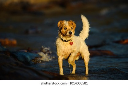 Small Terrier type dog standing at water shore with with one paw up