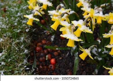 Small tete-a-tete daffodils, covered in a dusting of snowflakes in early spring