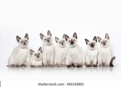 Small thai kittens on white background