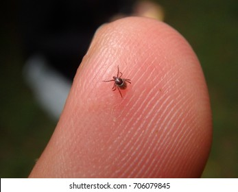 Small tick trying to bite n suck in middle of the forest in summer Probably he was searching some other animal like a wild boar, deer, bear, wolf, bird, ferret, weasel, fox r hedgehog to parasite. vet