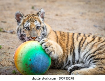 A small tiger cub playing with a ball in his enclosure at the big cat sanctuary.