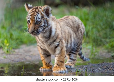 Small tiger cub stand in water