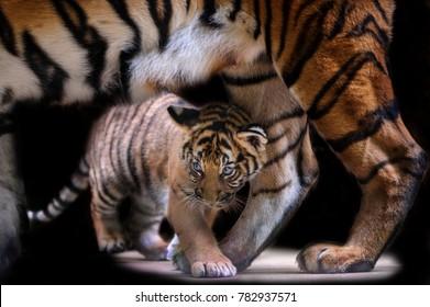 Small tiger cub walking under tiger mother body