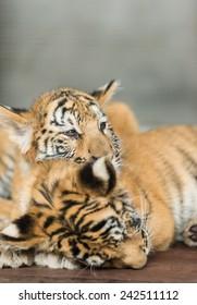 Small tigers
