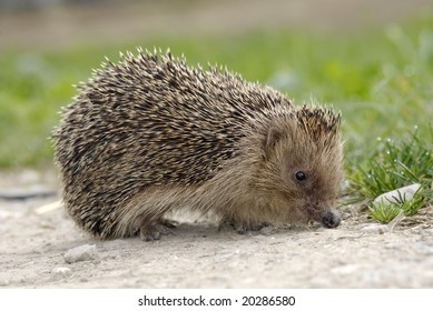 A small and timid hedgehog met in the countryside