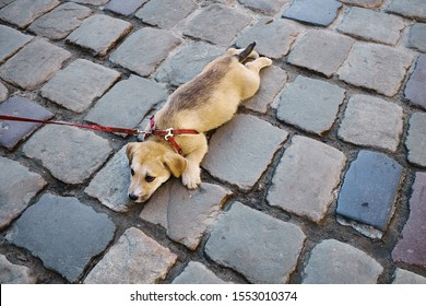 A small  tired sad dog on a leash lies on the paving stones