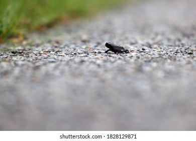 Small toad amphibian on a bicycle path in Dwingelderveld, The Netherlands