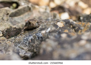 A small toad on a rock.  Mackinac Island State Park, MI, USA.