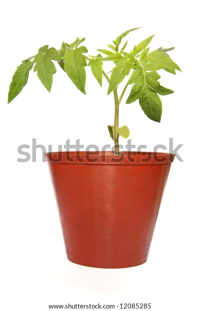 Small tomato plant in brown pot isolated on white