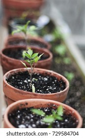 Small tomato plants grow in small containers