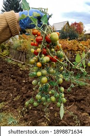 Small tomatoes on a branch. Cherry tomatoes on the dacha plot. A branch of tomatoes in the farmer's hand.