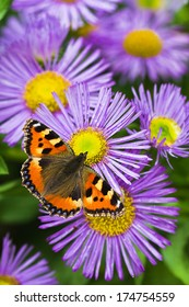 Small tortoisesehell butterfly on China aster flowers in summer