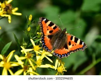 Small Tortoiseshell (Aglais urticae) butterfly