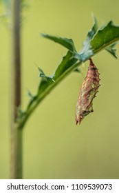Small tortoiseshell (Aglais urticae) butterfly - Chrysalis shortly before hatching