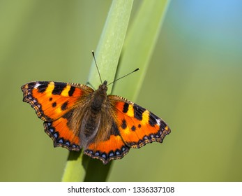 Small tortoiseshell (Aglais urticae) butterfly perched on a leaf with green and blue background