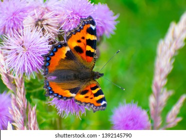 Small Tortoiseshell (Aglais urticae) butterfly resting on purple thistle flowers