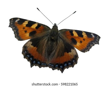 Small Tortoiseshell (Aglais Urticae L.). Butterfly spreading wings. White background.