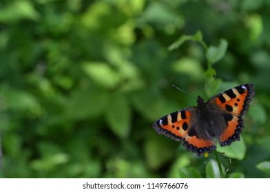 The Small Tortoiseshell (Aglais urticae) is a well-known colourful butterfly. Small Tortoiseshell, Aglais urticae, sitting on green leaf. Colourful butterfly spreading it's wings on  meadow in summer.