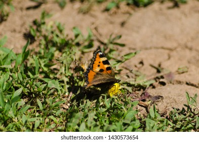 Small tortoiseshell, beautiful butterfly in summer
