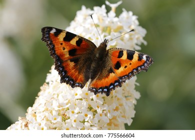 Small tortoiseshell butterflies on Buddleia bush. The Buddleia flowers are very atractive for butterflies. The sweet smell of nectar surrounds you.