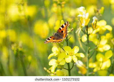 Small Tortoiseshell Butterfly (aglais urticae) in beautiful yellow wildlflowers, Dorset, UK