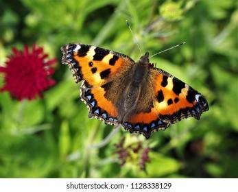 Small tortoiseshell butterfly (Aglais urticae) in a garden