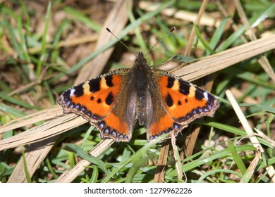 A Small Tortoiseshell butterfly, Aglais urticae, resting in the grass.