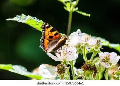 Small tortoiseshell butterfly Aglais urticae feeding on bramble blossom