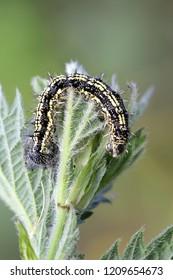Small tortoiseshell butterfly caterpillar, Aglais urticae