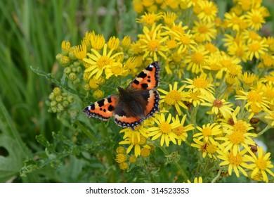 Small Tortoiseshell Butterfly on Yellow Ragwort