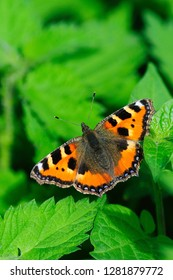 Small tortoiseshell butterfly at rest. Dorset, UK August