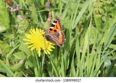 Small Tortoiseshell Butterfly resting on a dandelion plant
