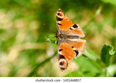 Small tortoiseshell butterfly in summer