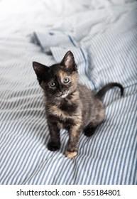 Small Tortoiseshell Kitten Playing on Striped Bed