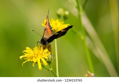 Small tortoiseshell on a blossom in the summer.