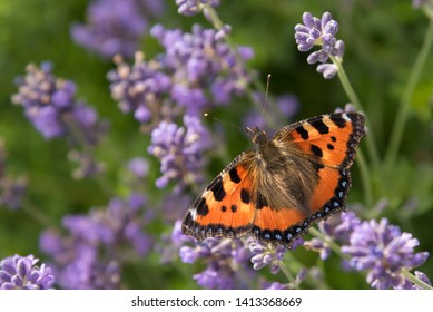 Small tortoiseshell on the lavender