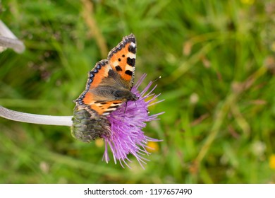 Small tortoiseshell on a thistle in the nature.