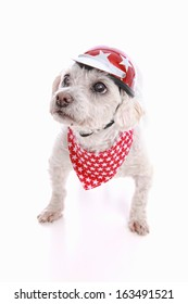 A small tough dog wearing a bike helmet and red bandana with stars.  White background.