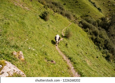 small trample path between steep ways in Zillertal with a lonely cow