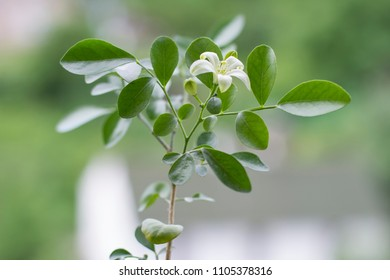 small tree of the emperor.young tender plant of muraia. fragrant white flower.