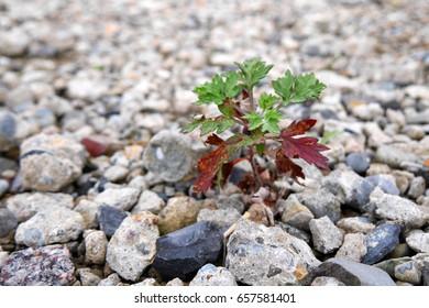 Small tree germinating through stones
