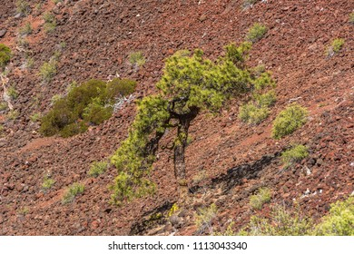 Small tree growing inside the crater of Lava Butte, a cinder cone near Bend, Oregon. Lava Butte erupted about 7000 years ago creating the cinder cone and a lava flow extending 2.5 miles.