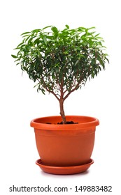 Small  tree isolated on a white bacground