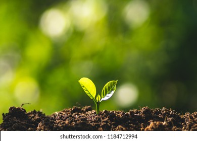 small tree sapling Coffee tree Care by hand Natural evening background