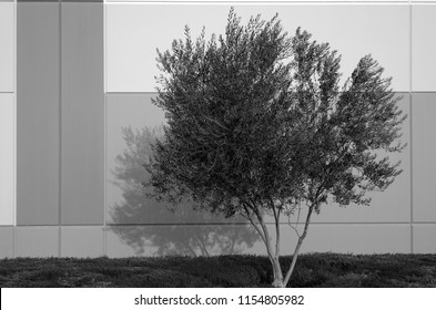 A small tree with shadow on building wall (monochrome image).