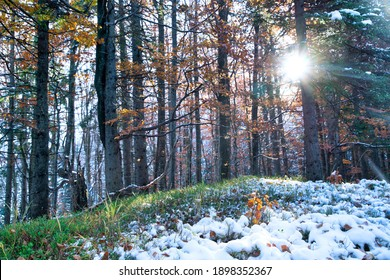 A small tree stands covered with snow among large trees in a clearing in the middle of a large dense forest in the Carpathian mountains. UHD 4K realtime video