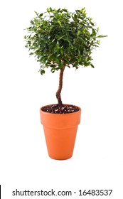 "small tree in a ""Terra cotta""  pot isolated on white"