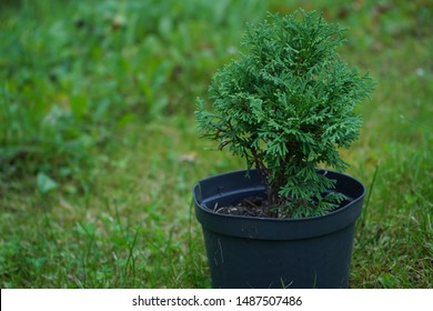 A small tree thuja grows in a pot on the background of greenery.Genus of gymnosperm coniferous plants of the cypress family.Beautiful green coniferous shrub.Herringbone.Spruce.Photo.
