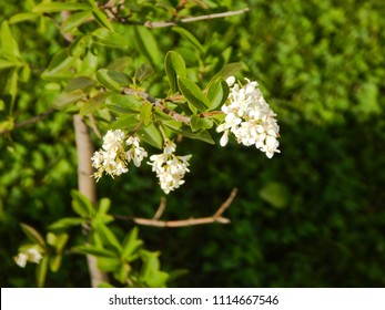 White flowers from romania images stock photos vectors shutterstock small tree with white flowers close up photographed outdoors at summer in romania mightylinksfo